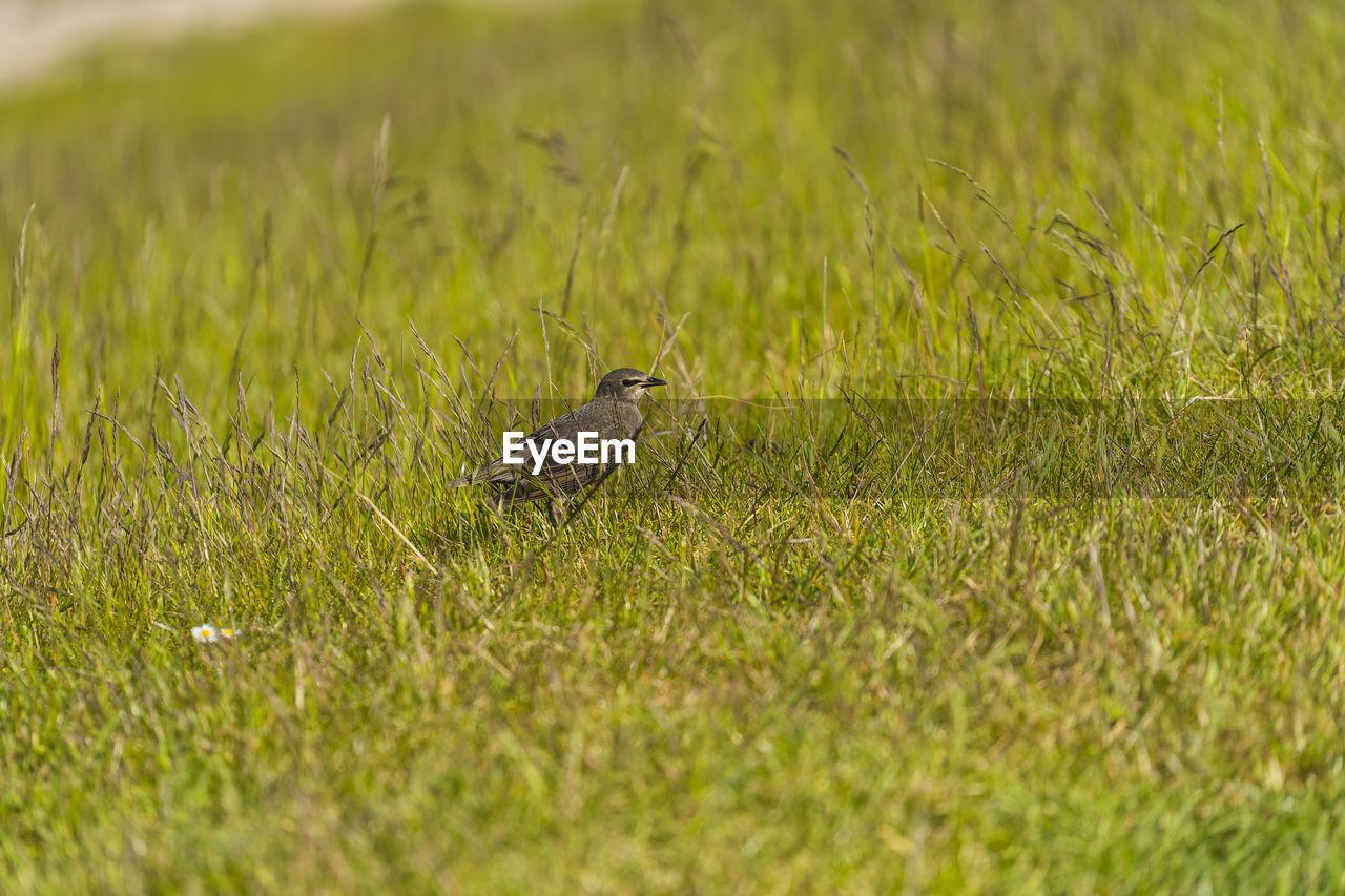 BIRD PERCHING ON GRASS IN FIELD