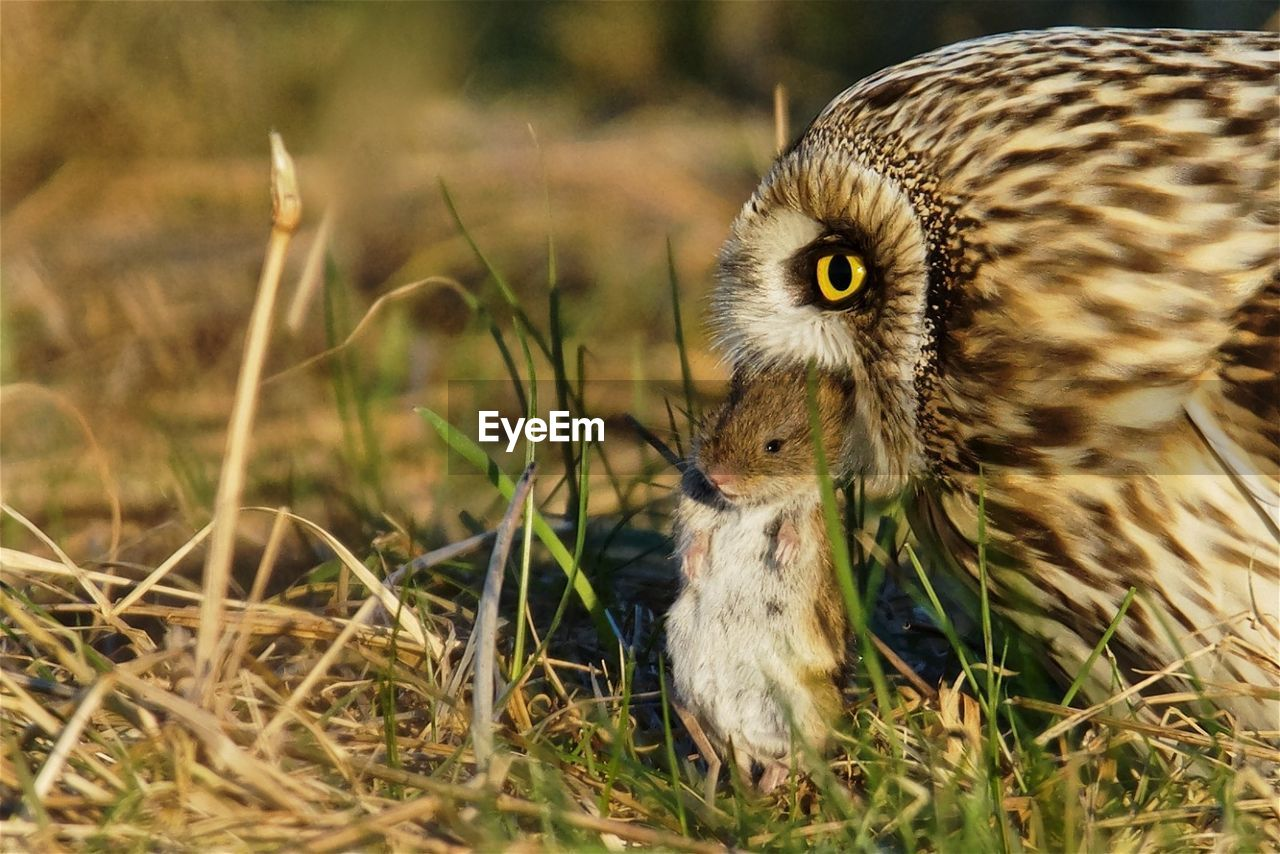 Close-up of owl with prey