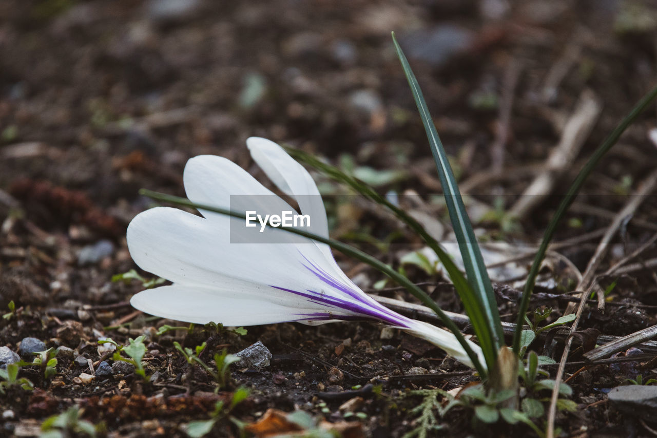 petal, flower, flowering plant, plant, beauty in nature, vulnerability, fragility, close-up, freshness, land, nature, field, selective focus, inflorescence, flower head, white color, growth, crocus, day, no people, iris, softness, purple