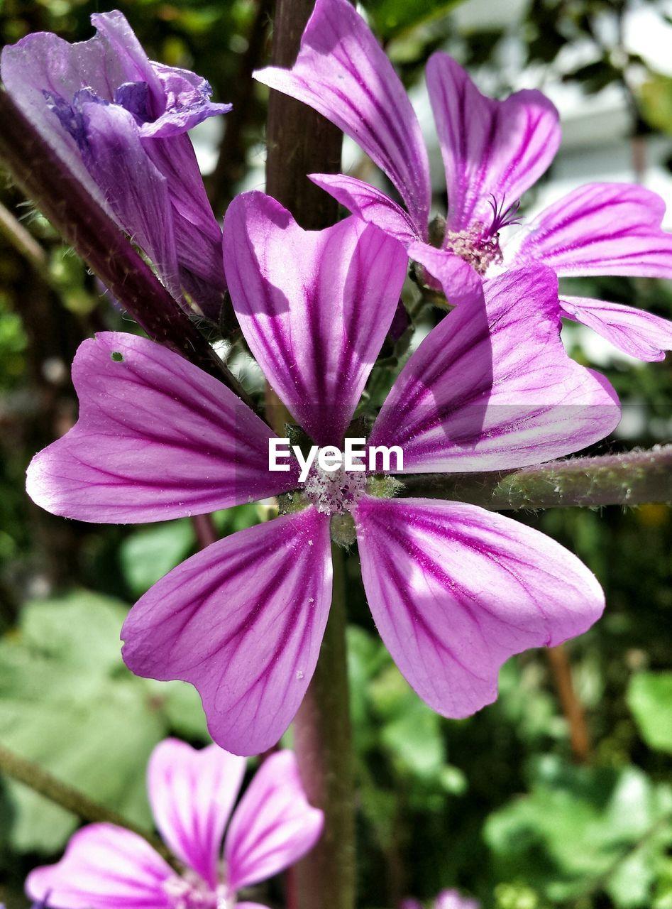 Purple Malva Sylvestris Blooming Outdoors