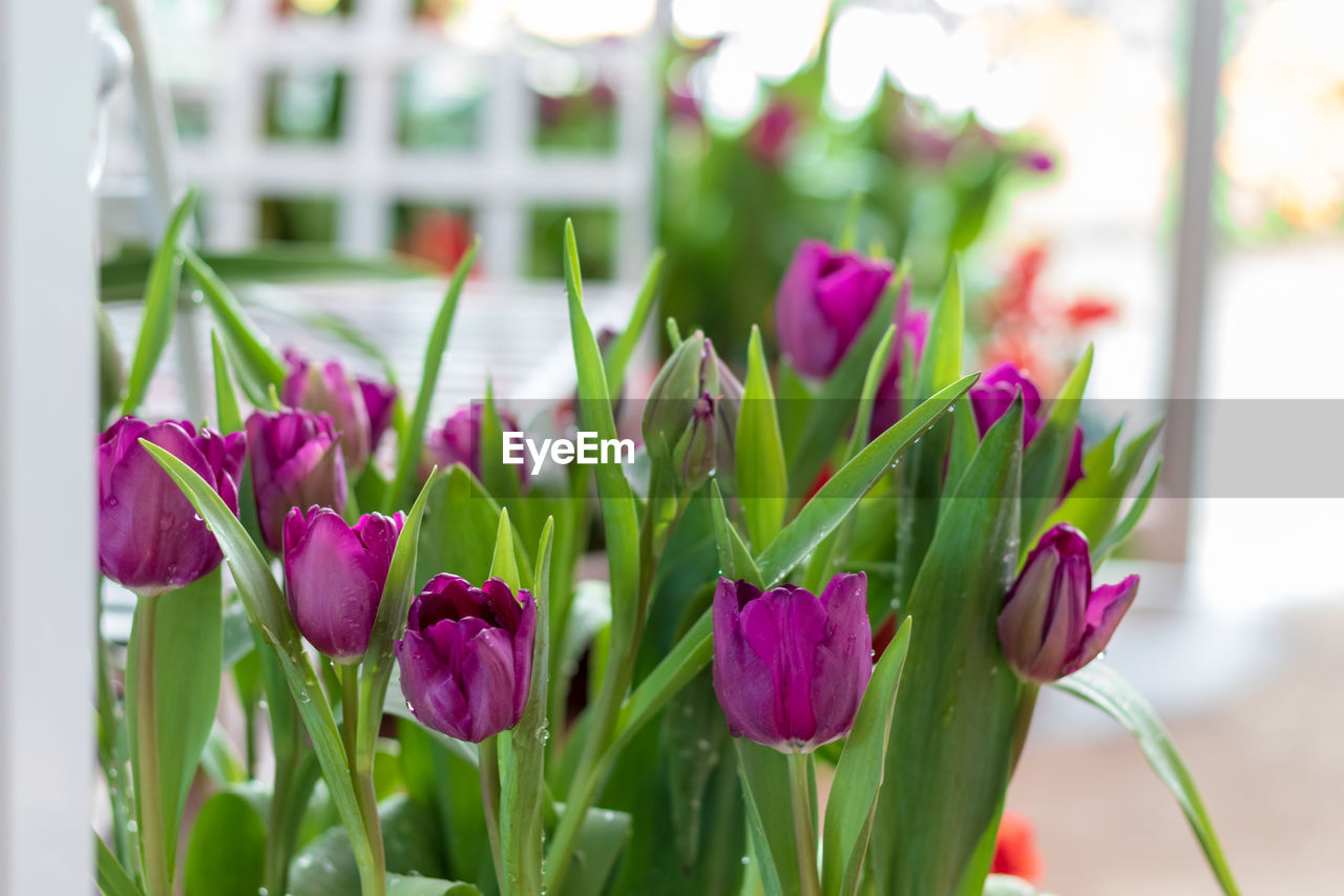 flower, flowering plant, plant, beauty in nature, vulnerability, freshness, fragility, close-up, petal, focus on foreground, growth, nature, flower head, inflorescence, pink color, tulip, no people, green color, day, plant stem, purple, outdoors, flower pot, flower arrangement