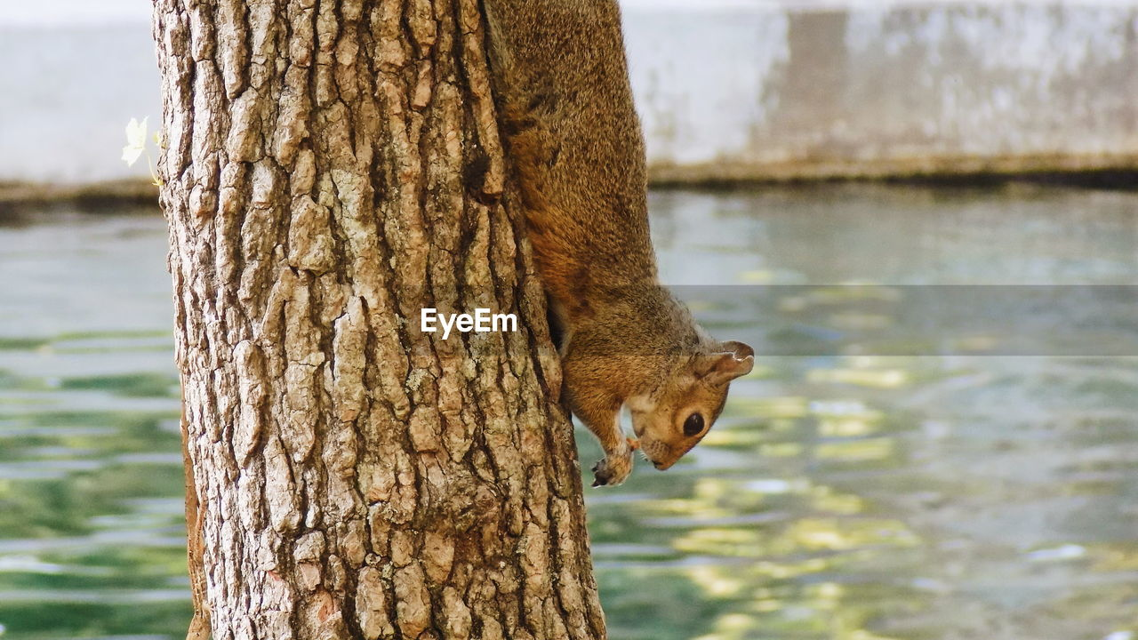 SQUIRREL ON TREE TRUNK WITH LAKE