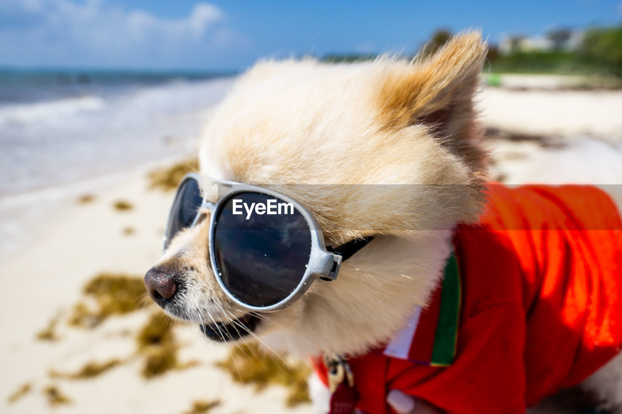 one animal, mammal, domestic animals, animal, animal themes, domestic, pets, vertebrate, canine, dog, water, focus on foreground, land, close-up, beach, no people, day, pet clothing, sea, animal head