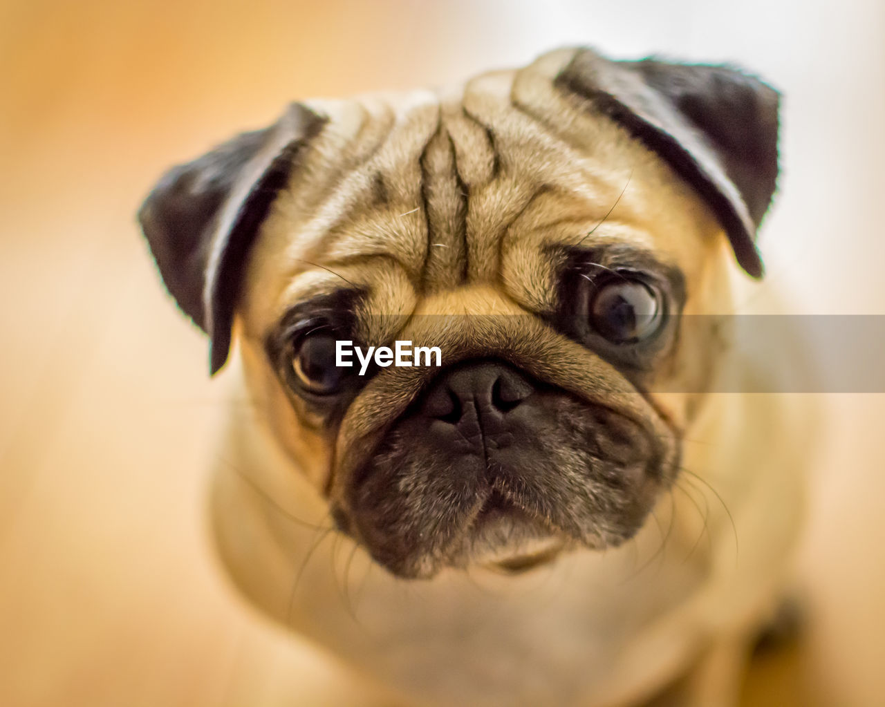 one animal, animal themes, mammal, animal, canine, domestic, dog, pets, domestic animals, lap dog, pug, vertebrate, small, indoors, portrait, close-up, animal body part, animal head, no people, looking at camera