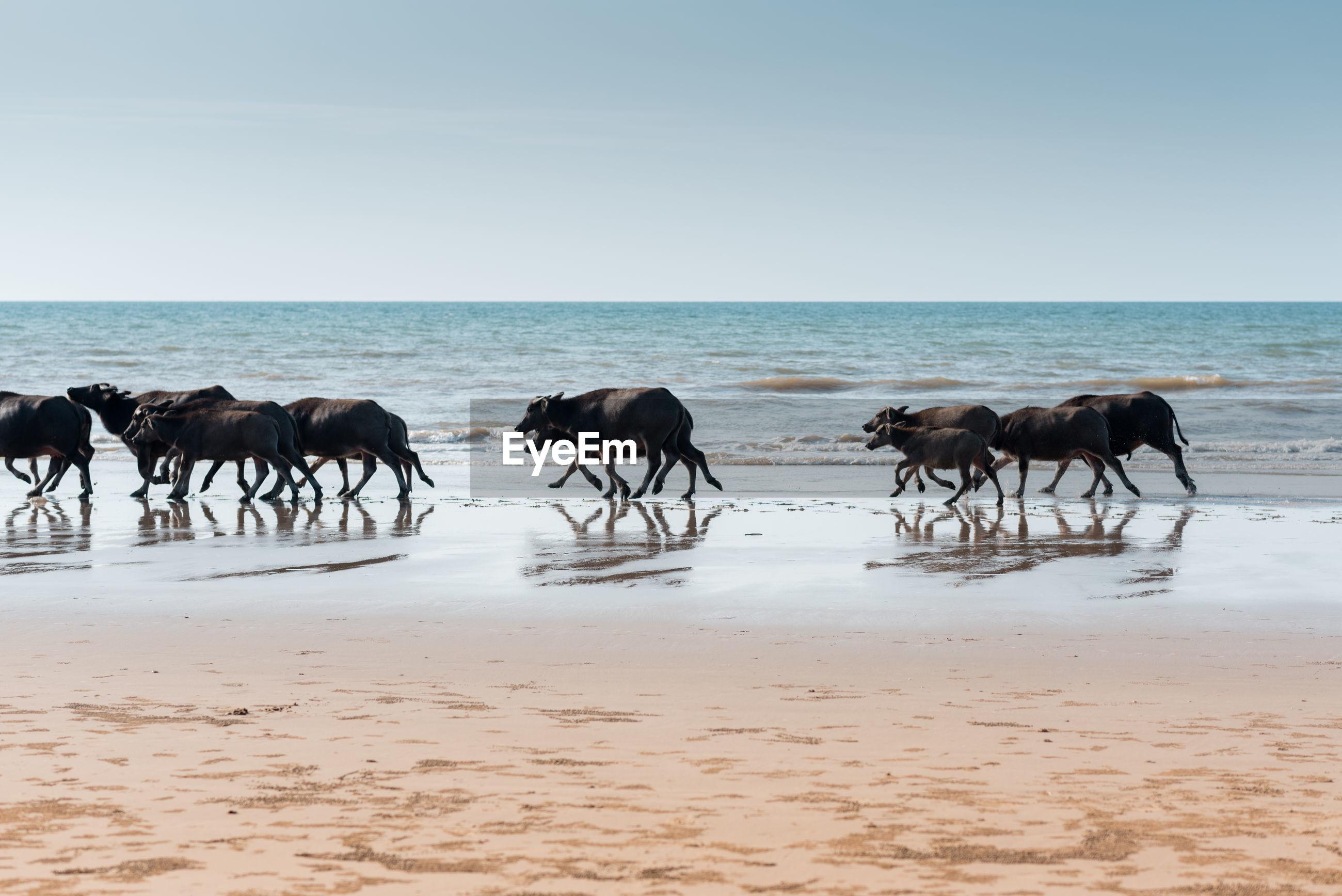 Buffaloes walking on shore at beach