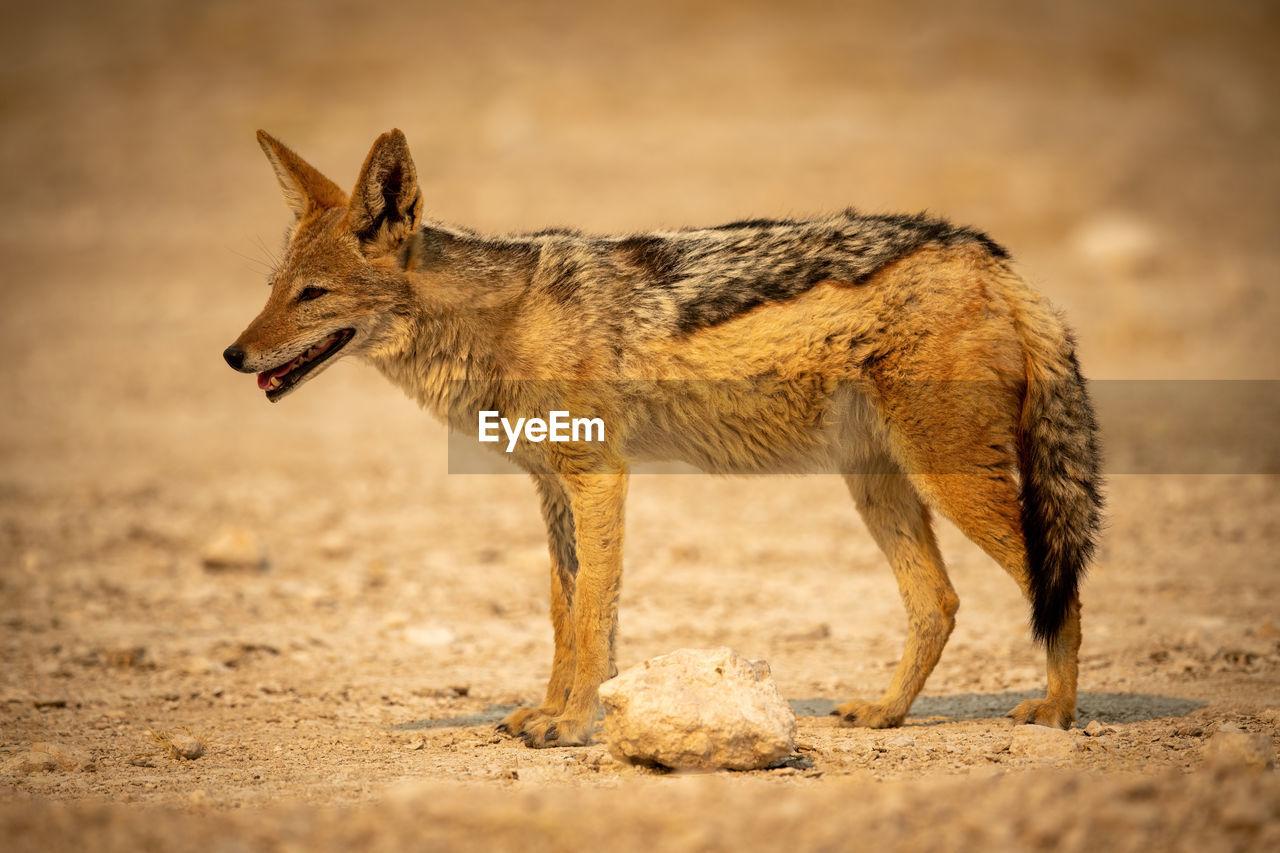 Black-backed jackal stands in profile on gravel