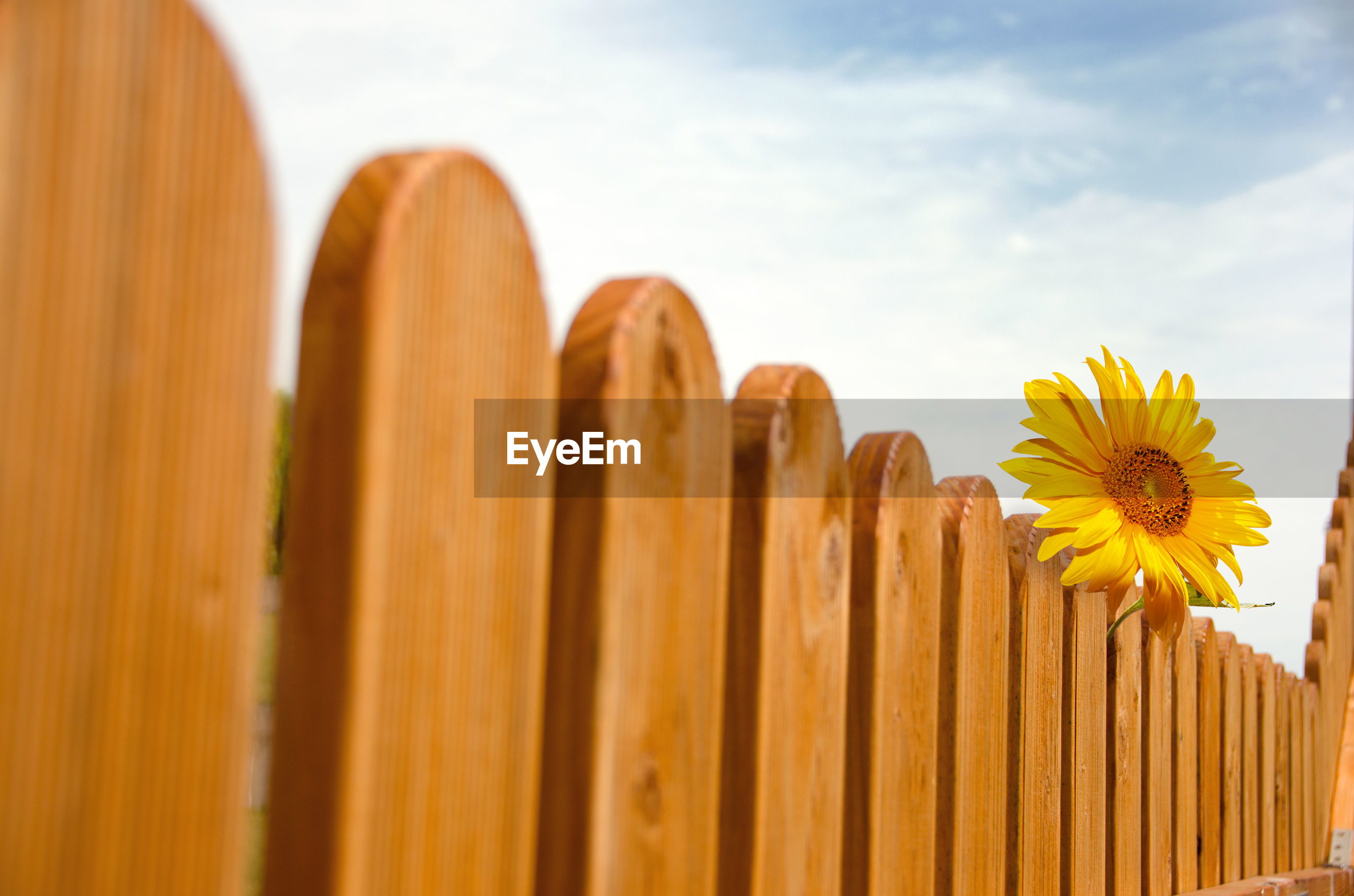 CLOSE-UP OF YELLOW FLOWERING PLANTS ON WOODEN FENCE