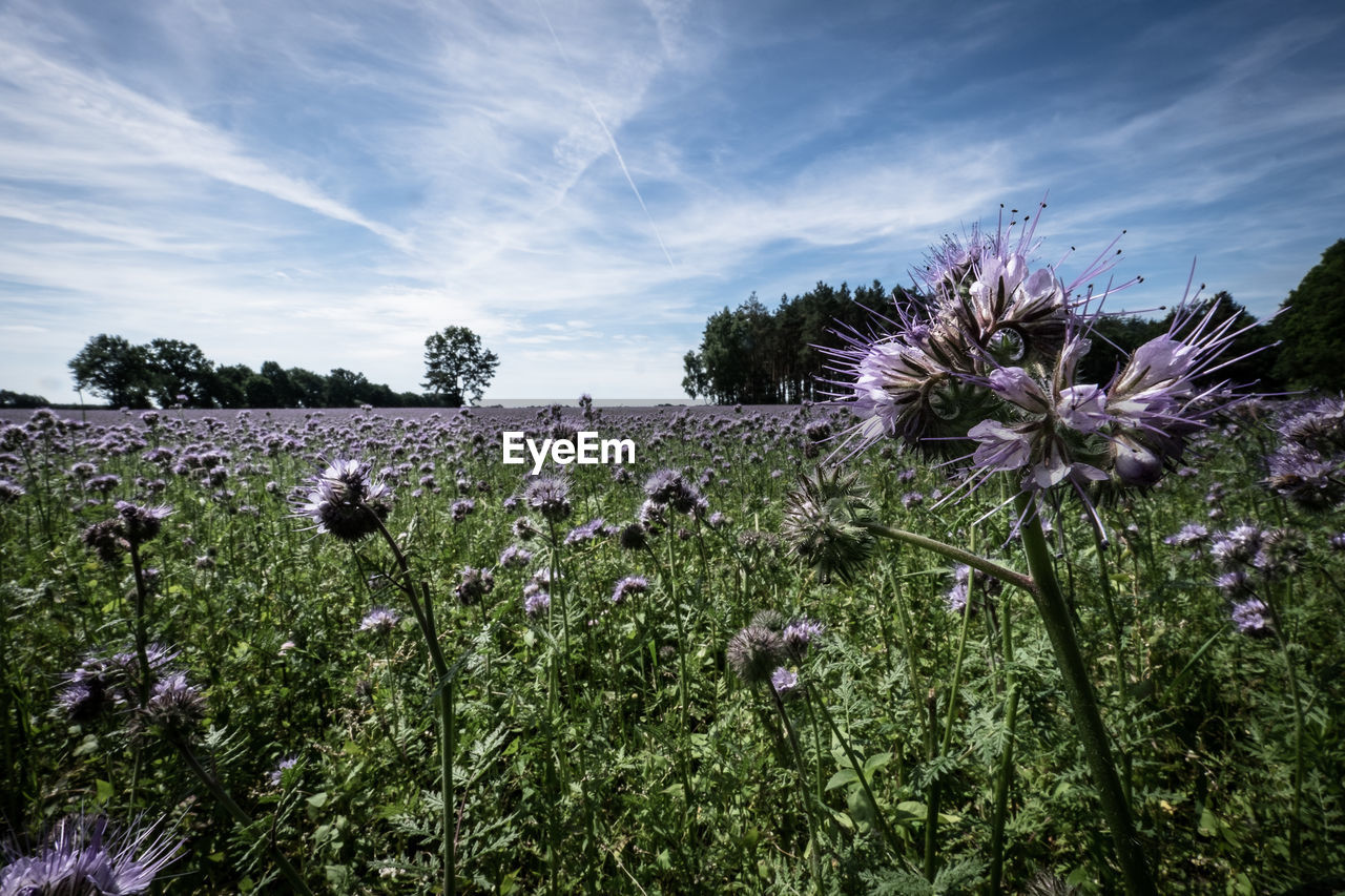 flower, nature, growth, beauty in nature, cloud - sky, sky, plant, fragility, no people, day, field, outdoors, tranquility, freshness, flower head, rural scene, thistle, tree