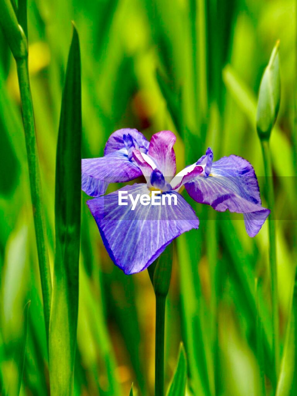 flowering plant, flower, plant, beauty in nature, freshness, growth, petal, fragility, purple, vulnerability, close-up, flower head, inflorescence, green color, nature, no people, day, focus on foreground, outdoors, plant part, springtime, iris - plant