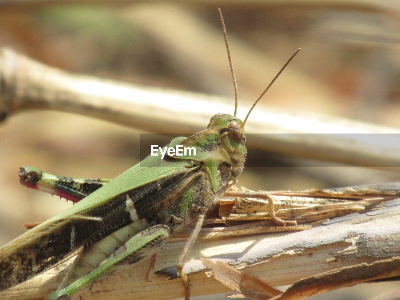 animal themes, animal, animals in the wild, animal wildlife, one animal, insect, invertebrate, grasshopper, close-up, focus on foreground, no people, day, nature, animal body part, animal antenna, praying mantis, outdoors, selective focus, green color, plant, animal eye
