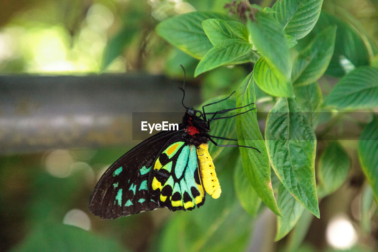 animal themes, animal wildlife, insect, leaf, plant part, invertebrate, animal, one animal, animals in the wild, animal wing, butterfly - insect, beauty in nature, close-up, plant, green color, nature, focus on foreground, no people, day, growth, outdoors, butterfly, pollination
