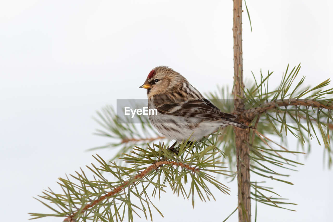 bird, vertebrate, one animal, animal wildlife, animal themes, animal, animals in the wild, perching, tree, plant, branch, no people, sparrow, nature, close-up, day, focus on foreground, beauty in nature, outdoors, side view, pine tree