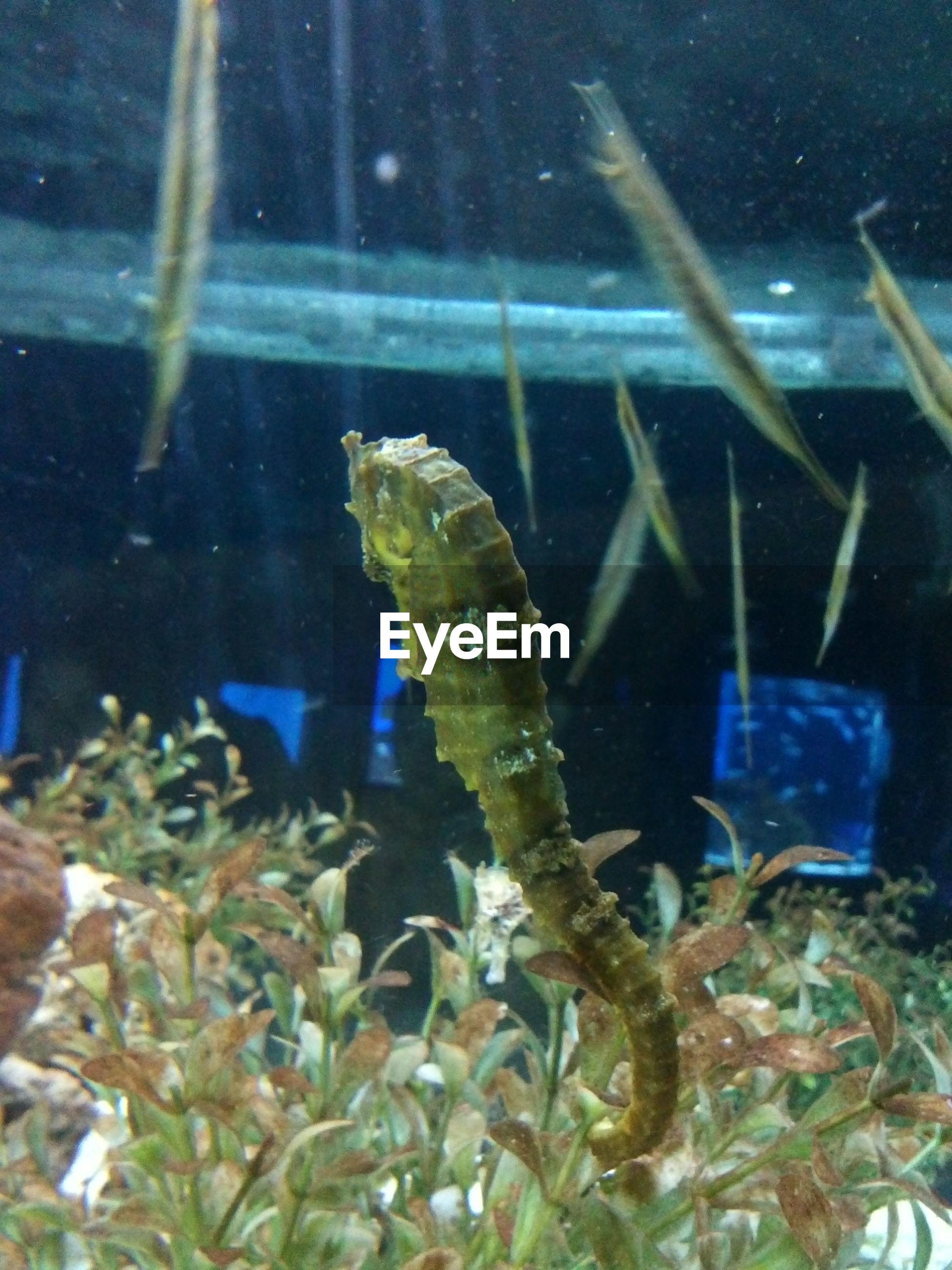 Close-up of seahorse swimming in fish tank
