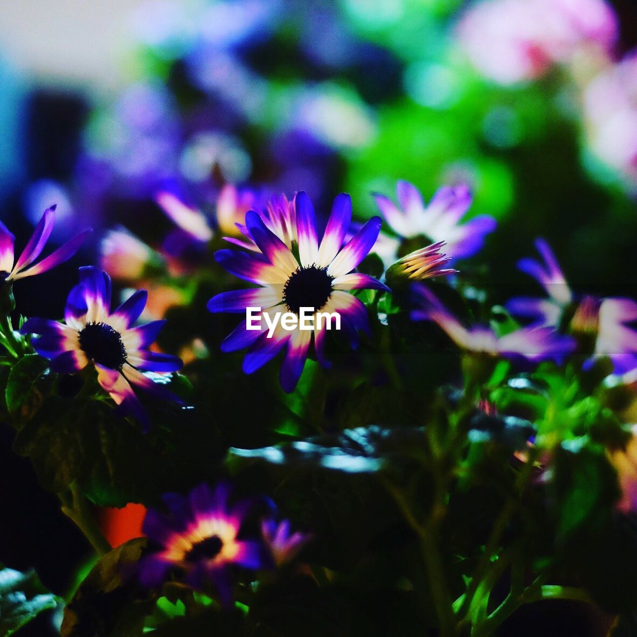 flower, nature, beauty in nature, growth, petal, fragility, purple, freshness, plant, no people, outdoors, flower head, blooming, day, close-up