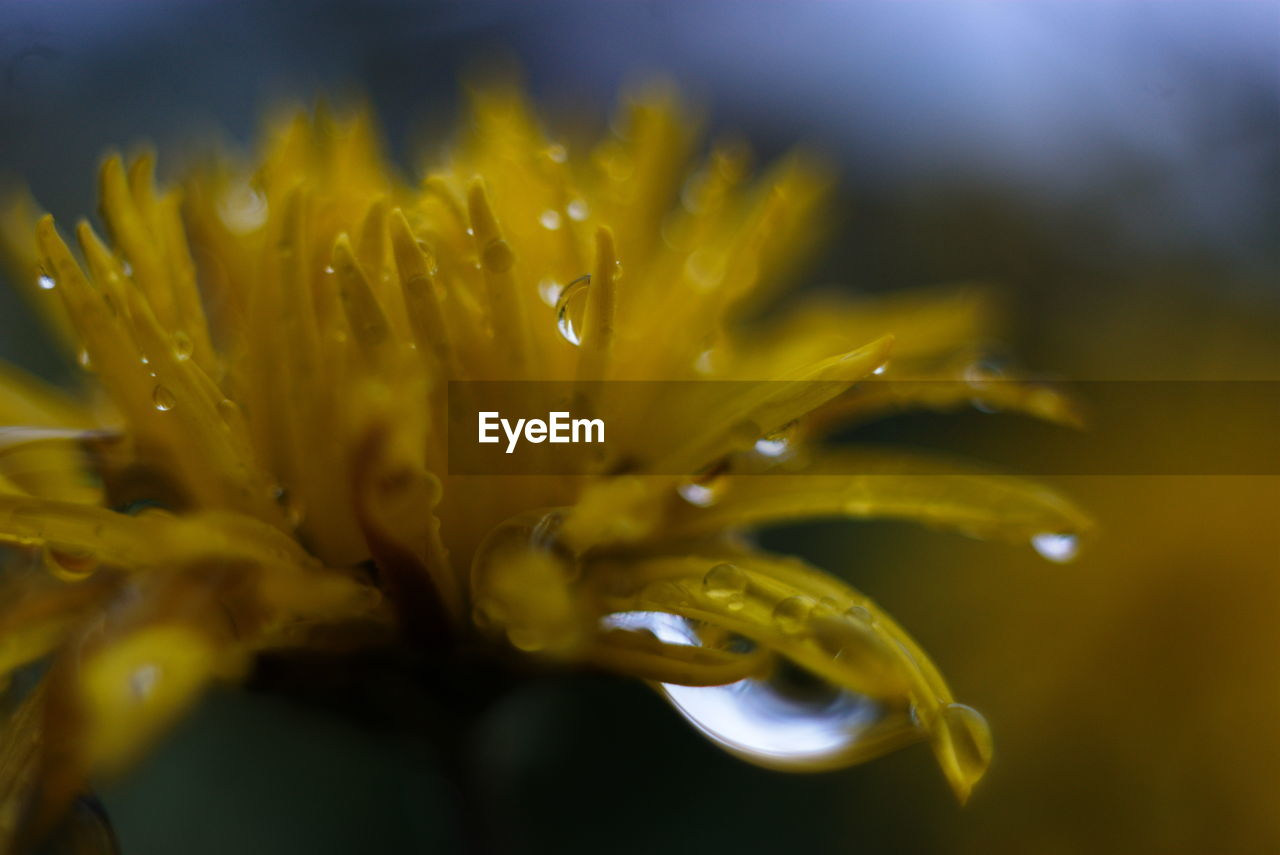 CLOSE-UP OF WATER DROPS ON YELLOW FLOWER BLOOMING OUTDOORS