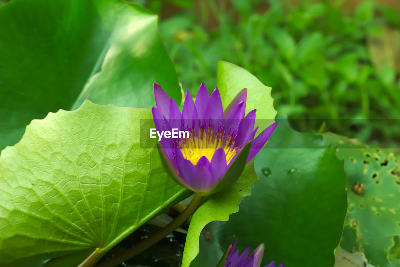 flower, leaf, growth, beauty in nature, nature, green color, fragility, petal, freshness, flower head, plant, lotus water lily, water lily, no people, day, outdoors, close-up, lotus, purple, blooming, water