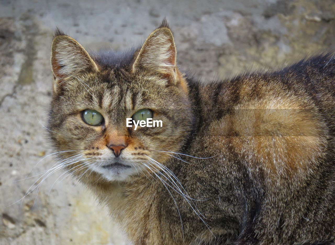 cat, feline, animal themes, mammal, animal, domestic cat, pets, domestic, domestic animals, one animal, vertebrate, looking at camera, portrait, whisker, focus on foreground, no people, close-up, day, animal body part, animal head, animal eye, tabby