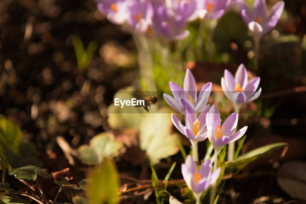 flowering plant, flower, petal, fragility, beauty in nature, plant, freshness, vulnerability, growth, invertebrate, flower head, one animal, insect, animal themes, bee, nature, animal, close-up, animals in the wild, animal wildlife, purple, no people, pollination, pollen, crocus