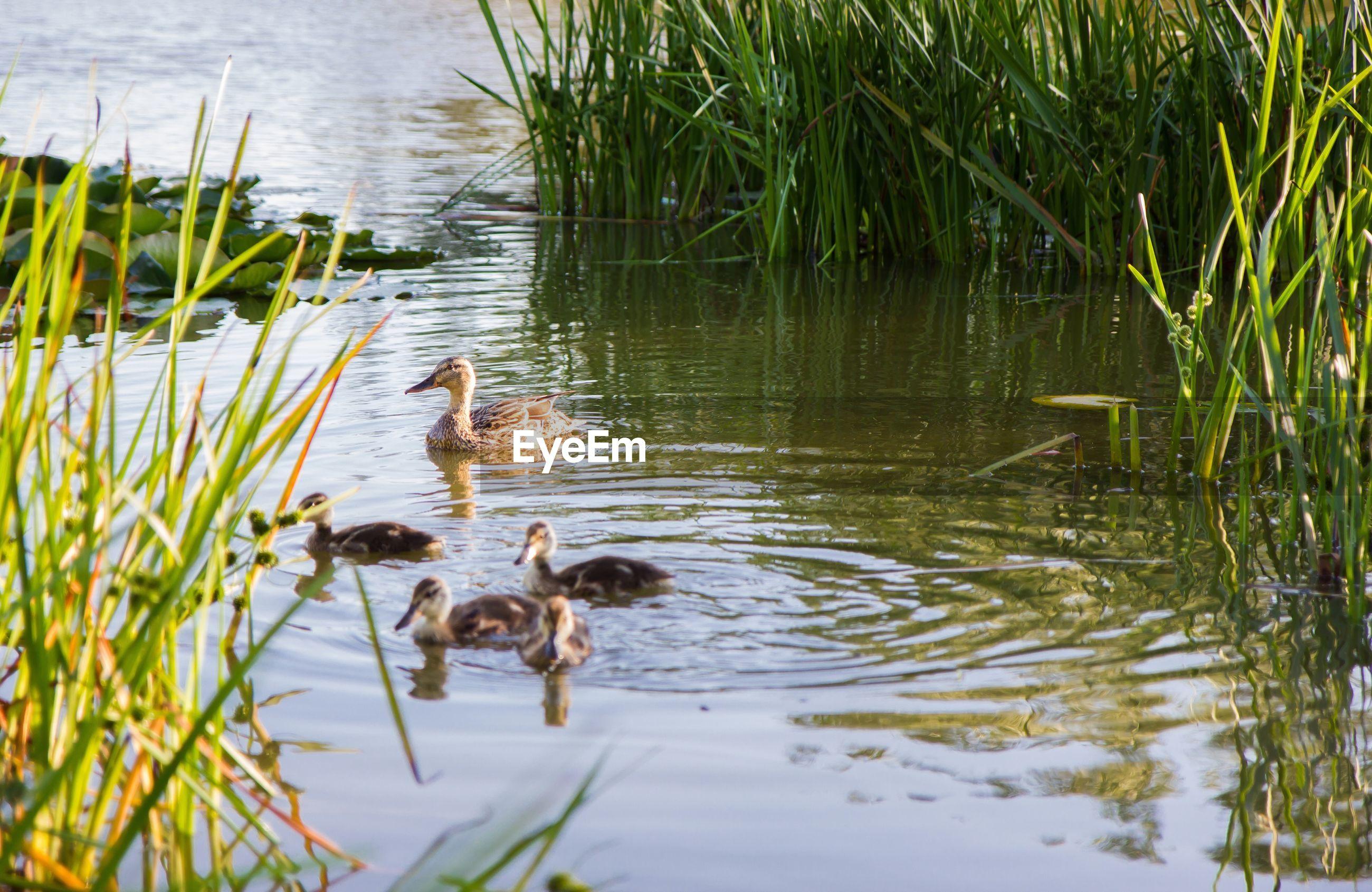Female mallard duck with ducklings swimming in lake