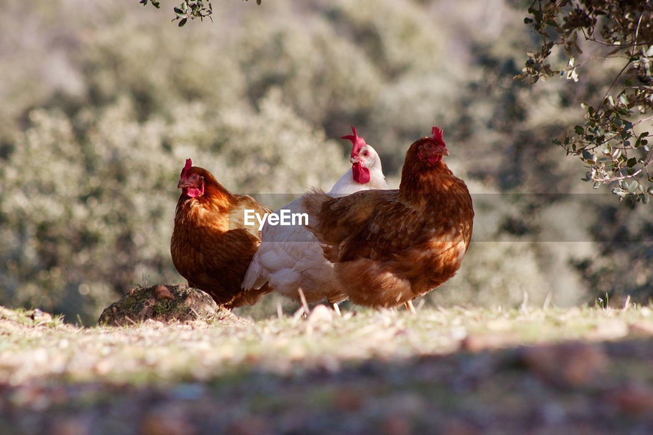 Close-Up Of Chickens Outdoors