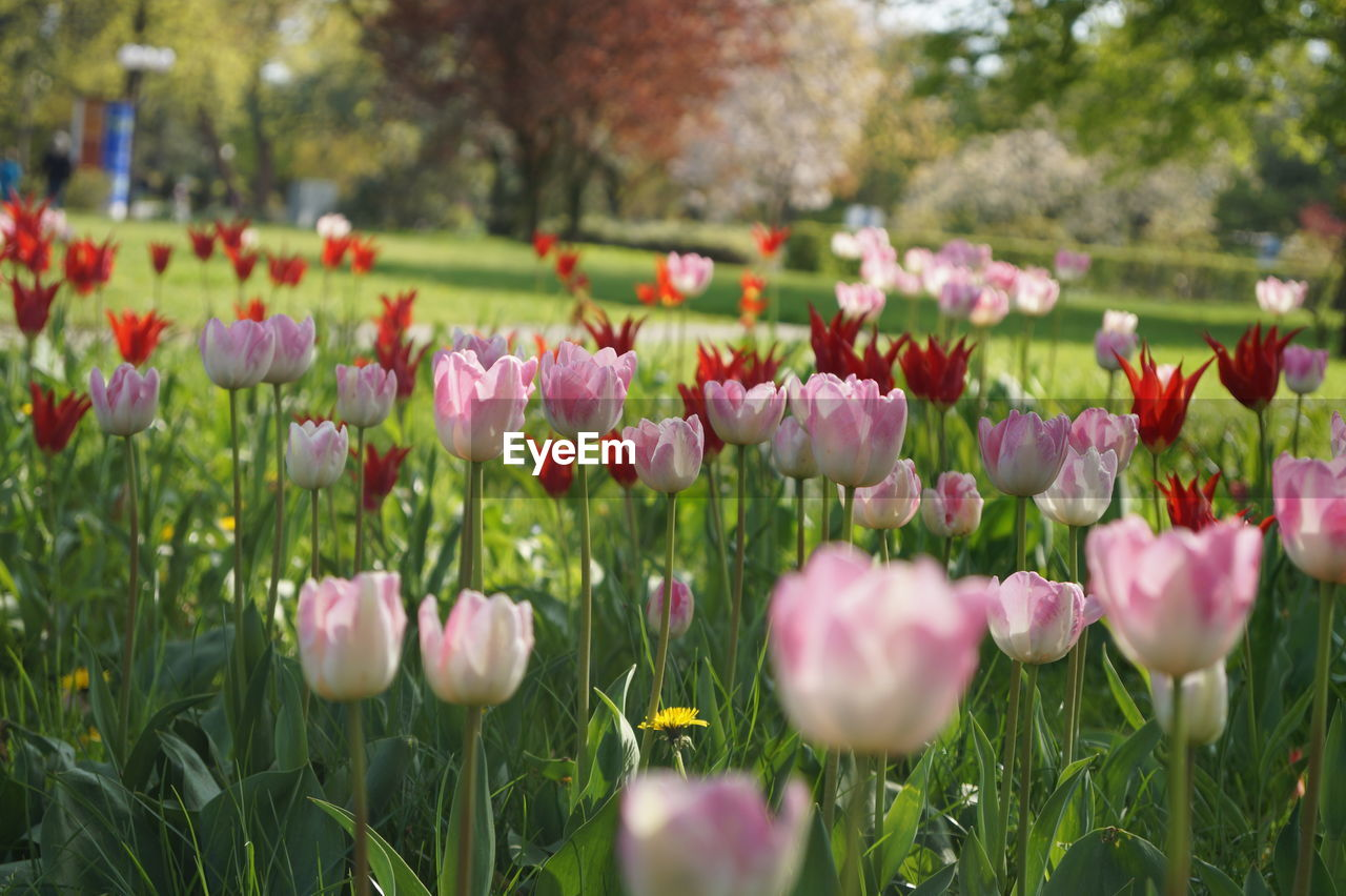 flower, beauty in nature, nature, growth, freshness, fragility, petal, blooming, plant, pink color, field, flower head, tulip, outdoors, grass, park - man made space, selective focus, day, no people, green color, springtime, close-up, tree, crocus
