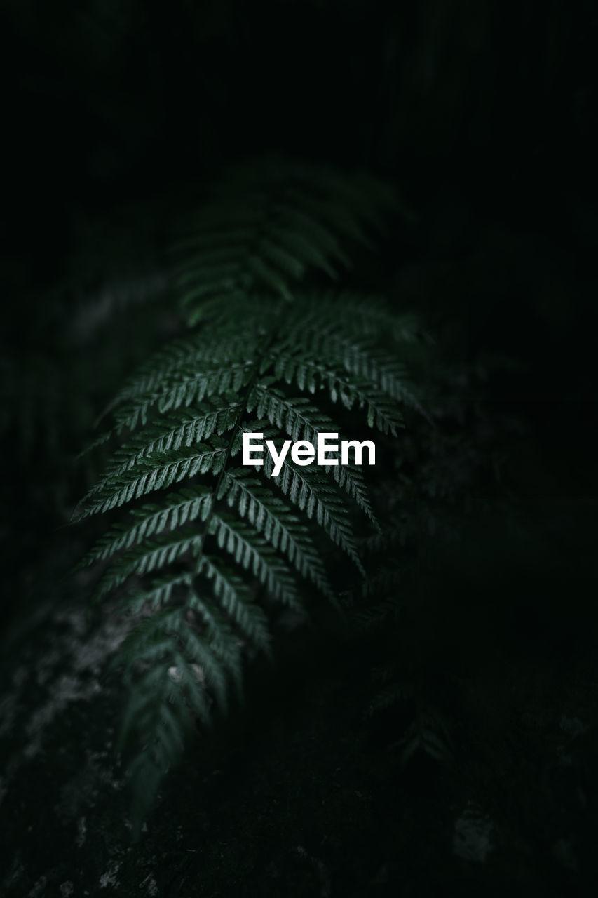 Close-up of fern at night