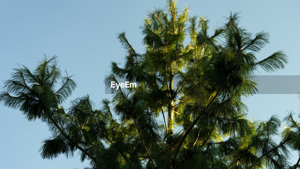 tree, sky, growth, plant, low angle view, beauty in nature, no people, clear sky, green color, nature, day, tranquility, outdoors, tropical climate, branch, palm tree, leaf, non-urban scene, scenics - nature, sunlight