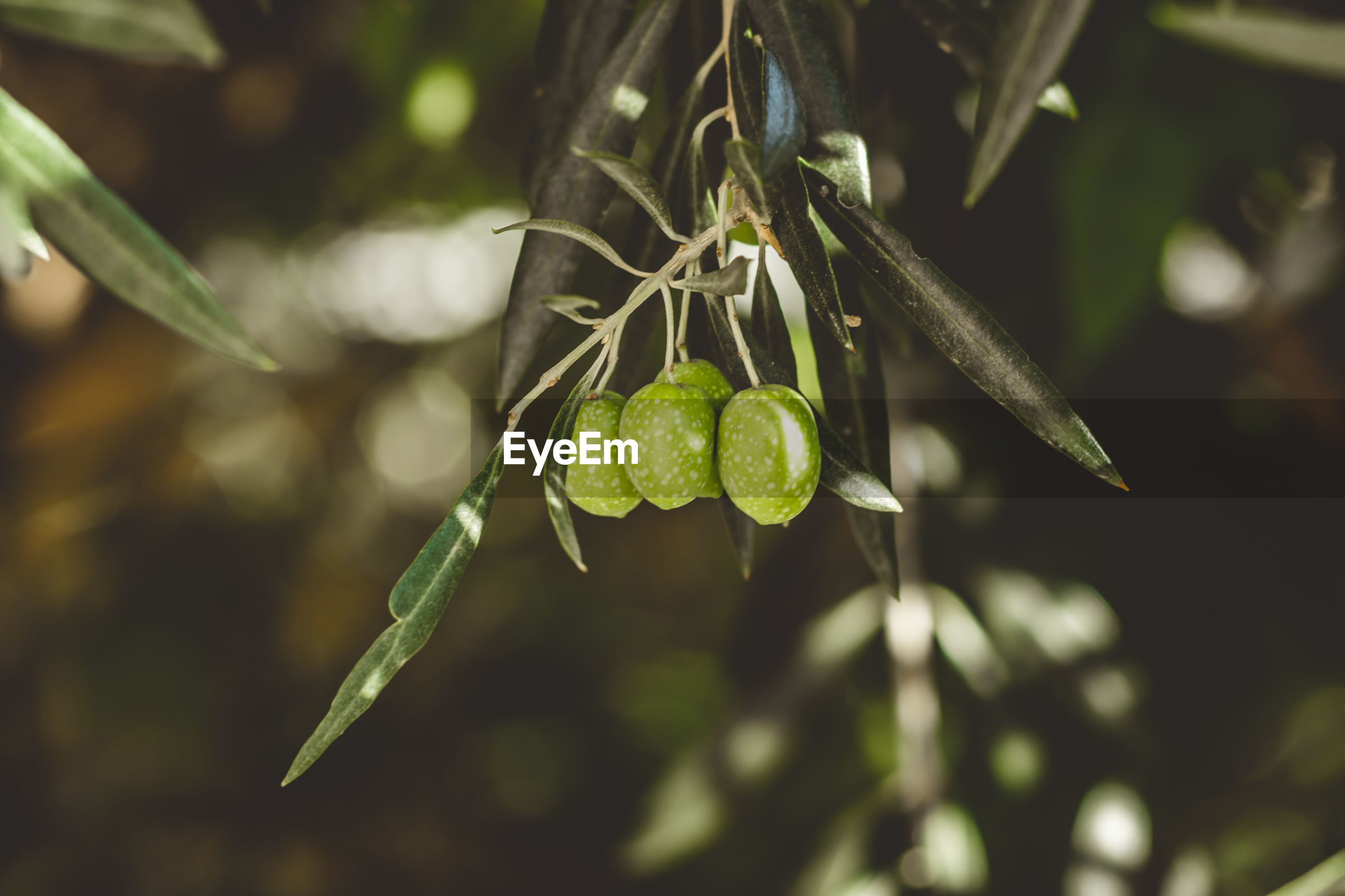 Ripe green olives on the tree.