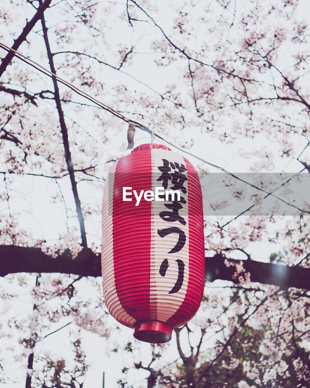 CLOSE-UP OF RED CHERRY BLOSSOM HANGING FROM TREE