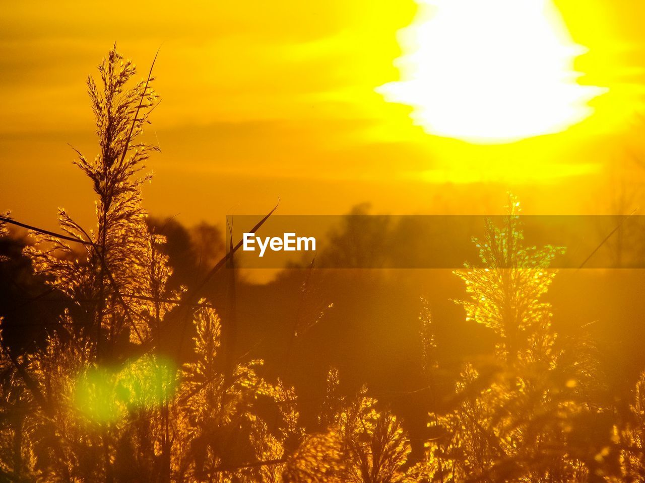 sunset, nature, growth, beauty in nature, plant, outdoors, sun, yellow, no people, flower, sky, close-up, tree, freshness, day