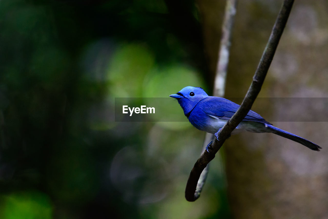 bird, vertebrate, animals in the wild, animal themes, animal, animal wildlife, one animal, focus on foreground, no people, perching, blue, day, close-up, nature, tree, beauty in nature, outdoors, plant, branch, selective focus