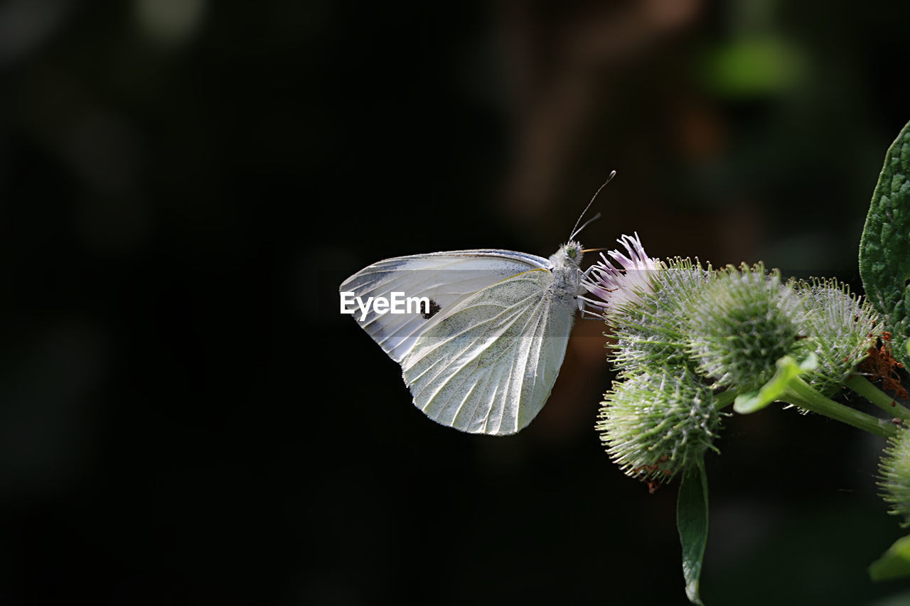 Close-up Of Butterfly On Thistle