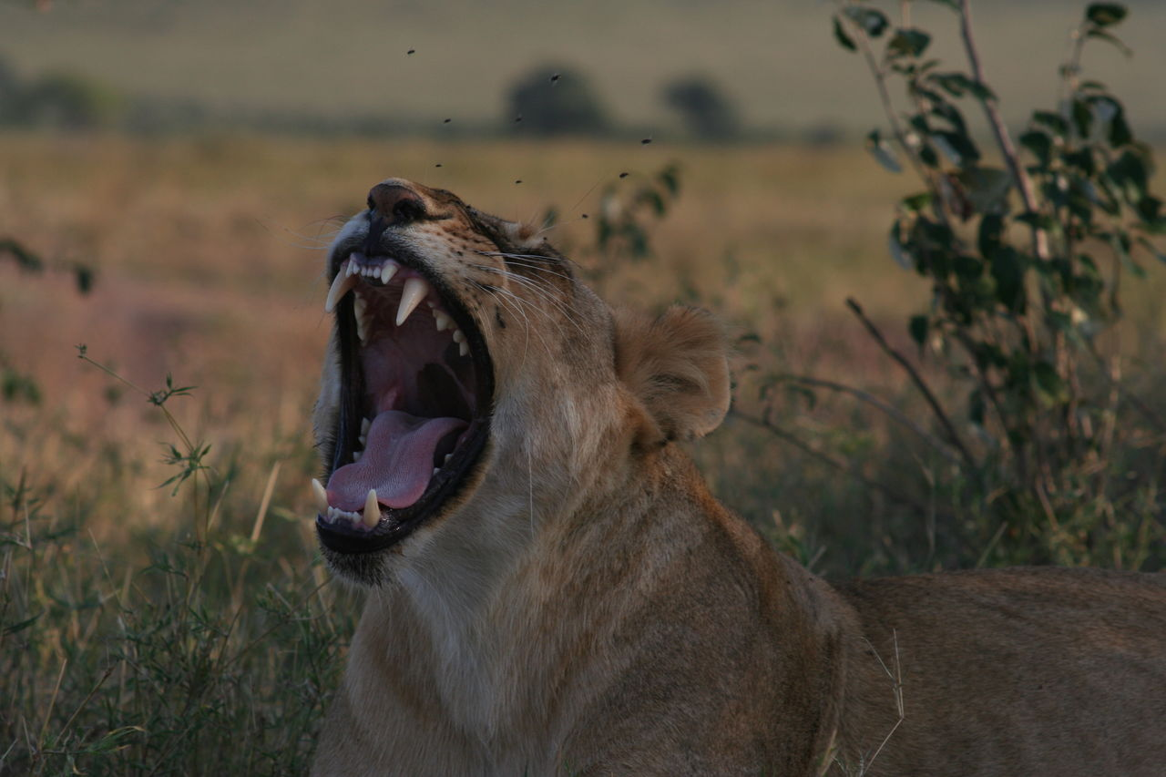 Lioness Yawning While Relaxing On Field