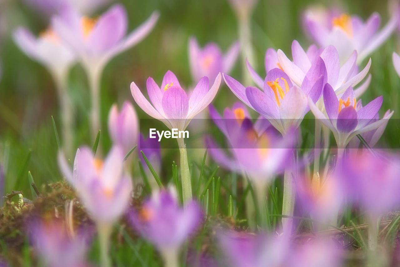 flower, selective focus, nature, beauty in nature, growth, fragility, plant, petal, freshness, purple, no people, outdoors, day, blooming, flower head, close-up, crocus