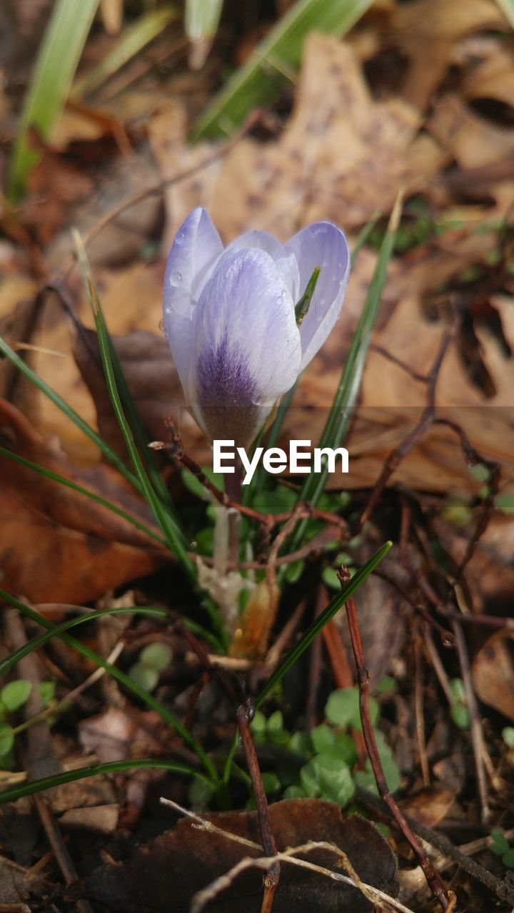 flower, fragility, nature, petal, beauty in nature, growth, plant, flower head, freshness, close-up, day, no people, snowdrop, focus on foreground, outdoors, blooming, crocus