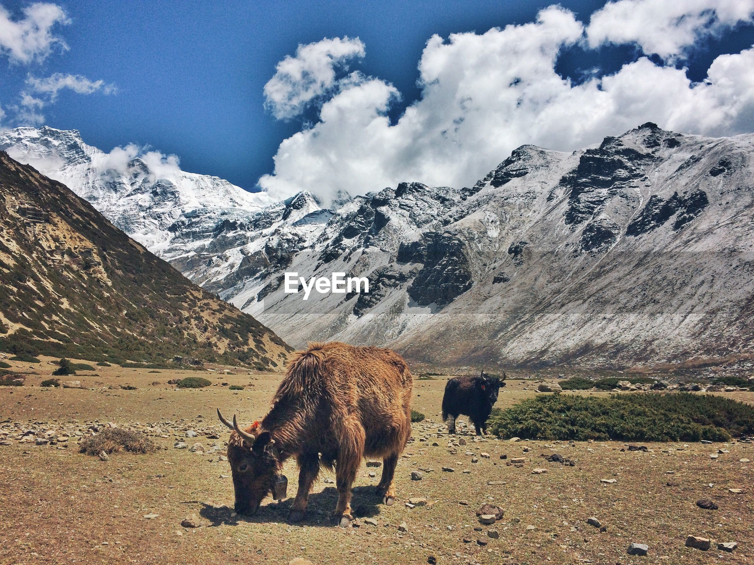 Yaks standing against mountains