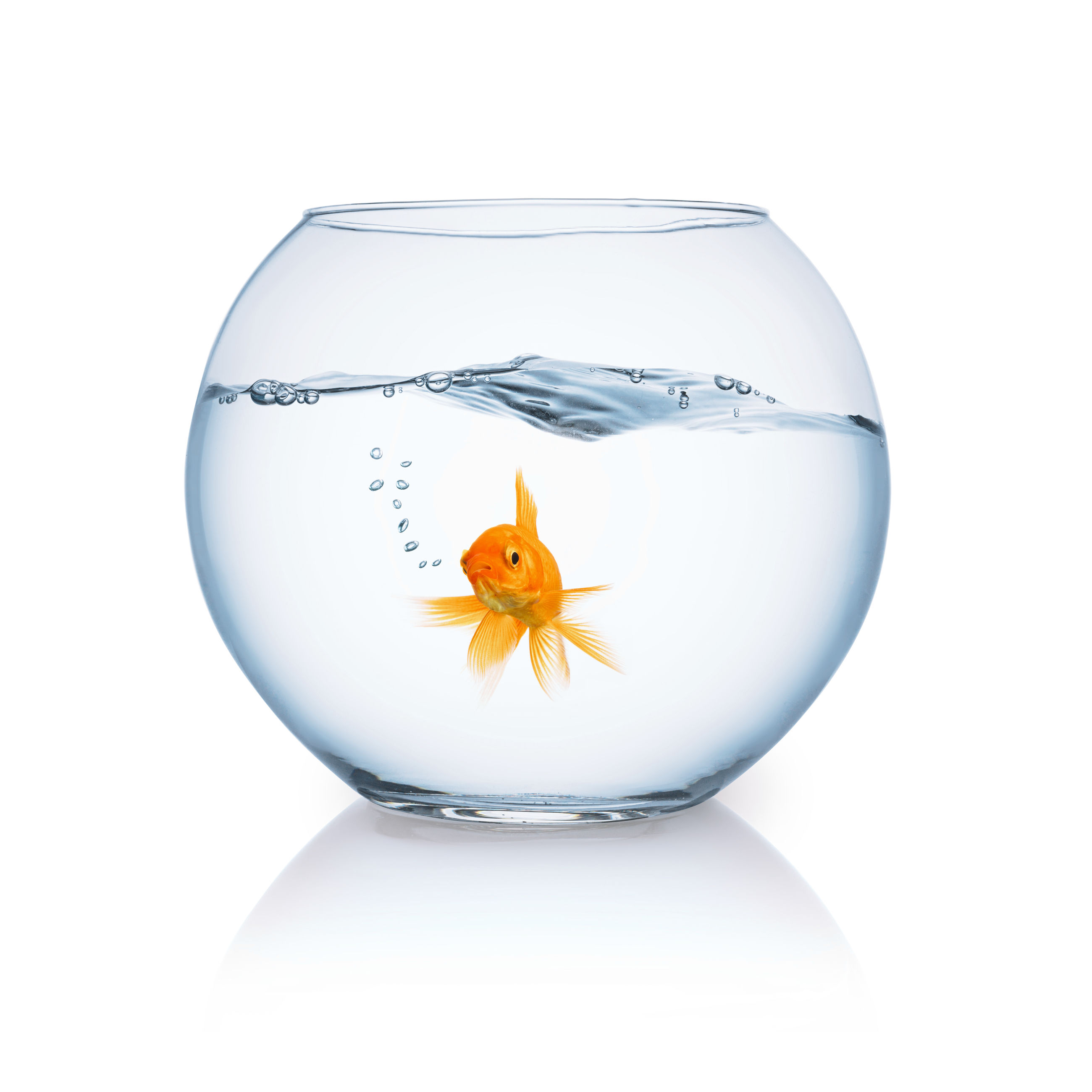 Close-up of goldfish in bowl against white background