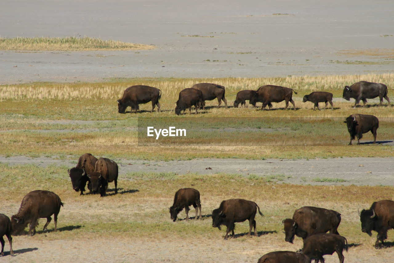 High Angle View Of American Bison On Field