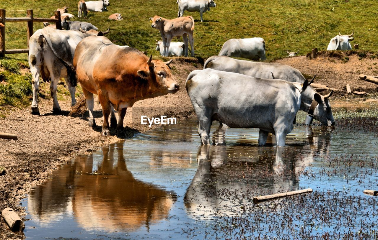 animal themes, animal, mammal, domestic animals, livestock, water, cattle, reflection, domestic, farm, nature, group of animals, agriculture, pets, rural scene, cow, domestic cattle, bull - animal, no people, herd, herbivorous, drinking, ranch, taurus