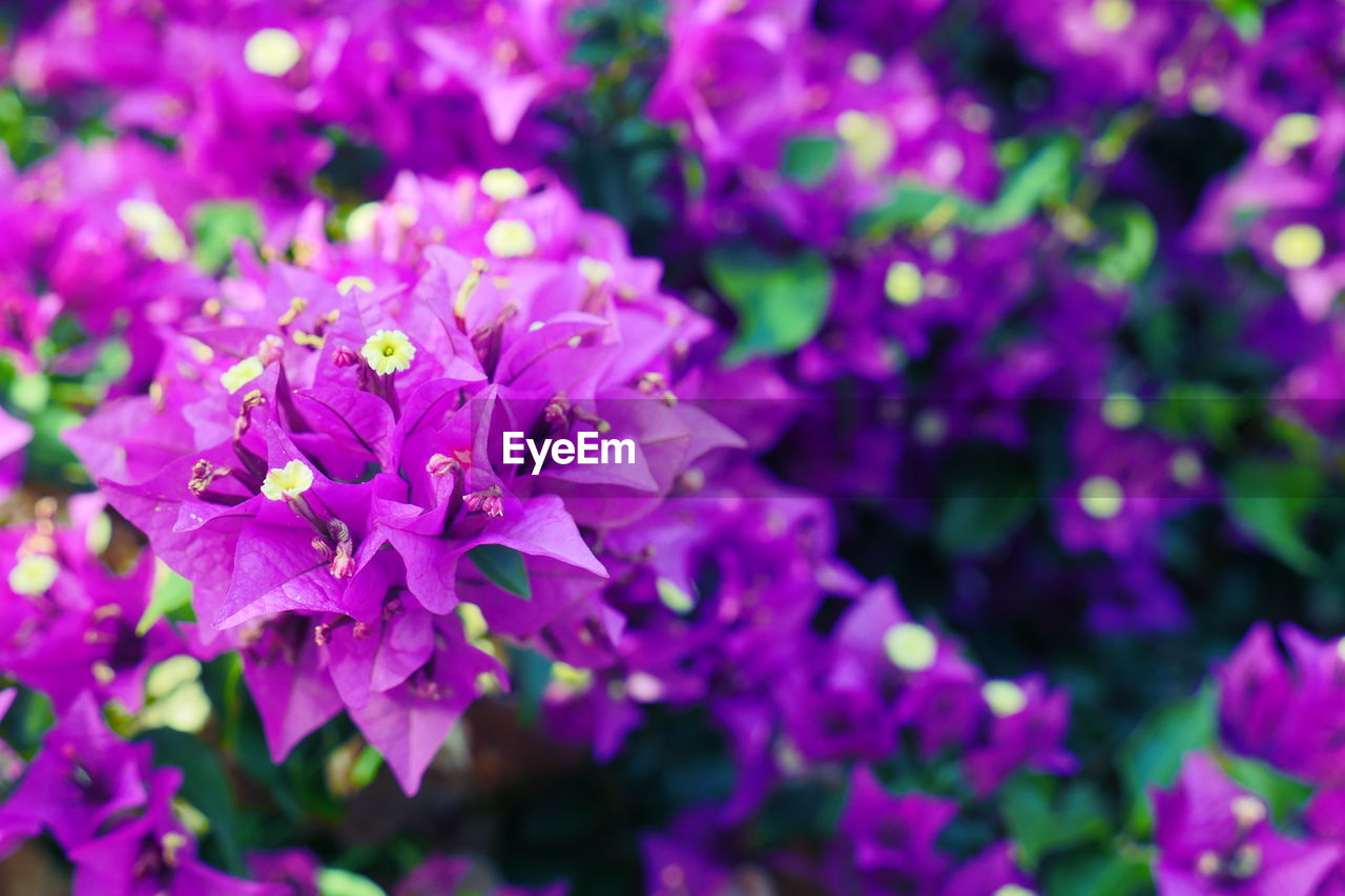 Close-up of fresh magenta bougainvillea flowers blooming in garden