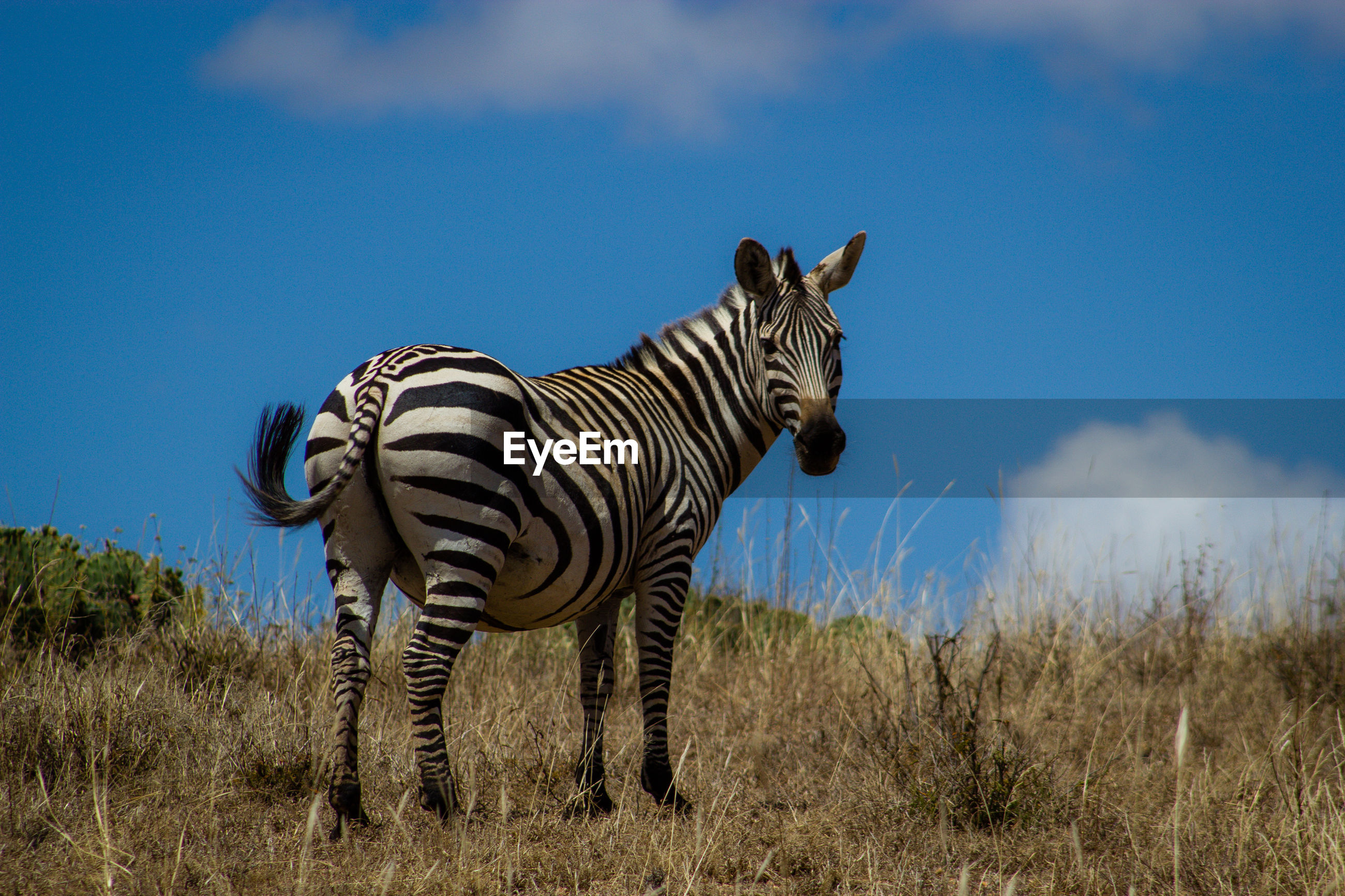 ZEBRAS ON A FIELD OF A HORSE