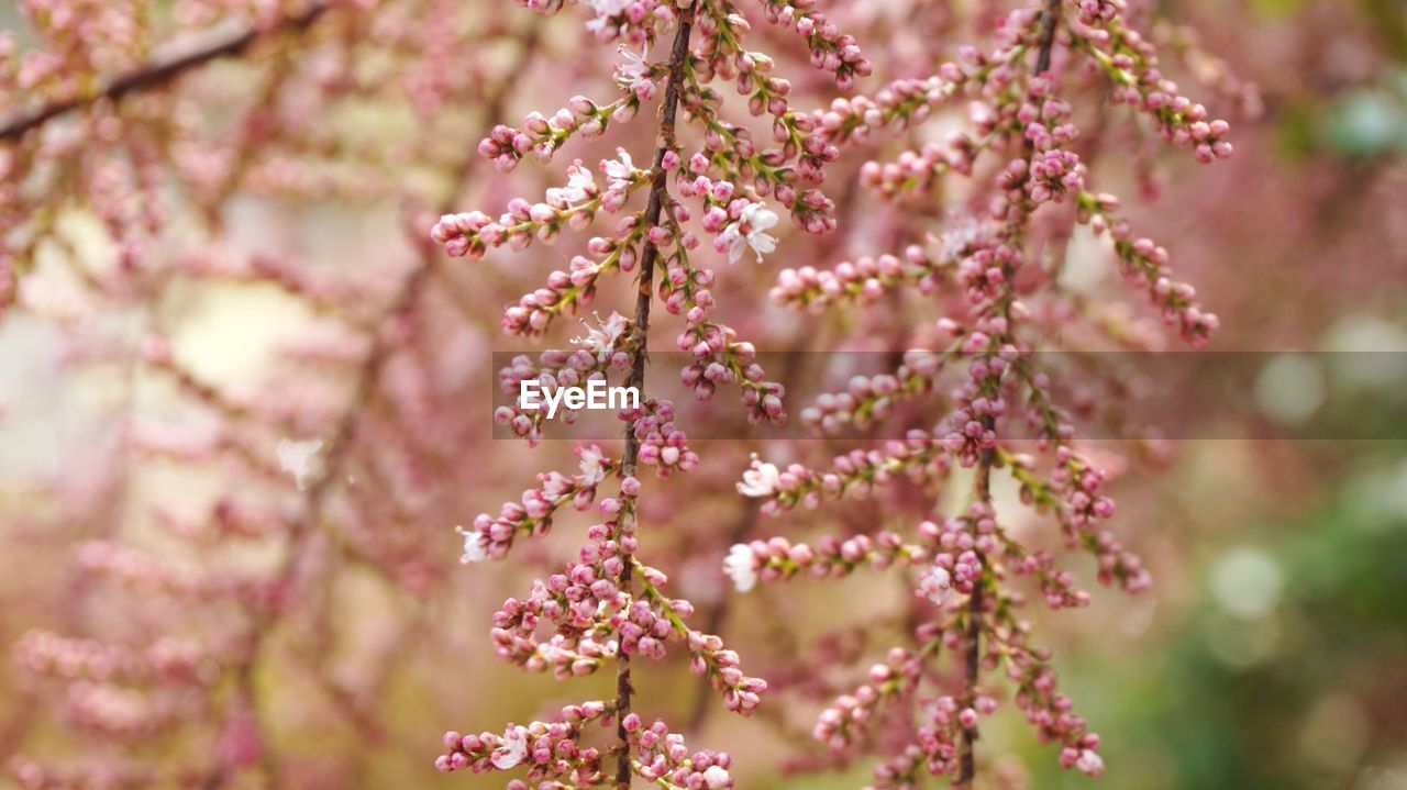 flowering plant, flower, pink color, freshness, growth, fragility, beauty in nature, plant, vulnerability, close-up, selective focus, blossom, springtime, nature, tree, petal, botany, no people, day, focus on foreground, outdoors, flower head, cherry blossom