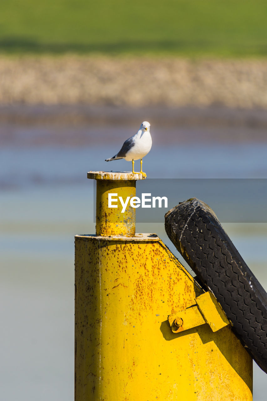 animals in the wild, bird, animal themes, animal wildlife, animal, perching, vertebrate, focus on foreground, metal, one animal, water, day, no people, seagull, nature, yellow, outdoors, close-up, sunlight