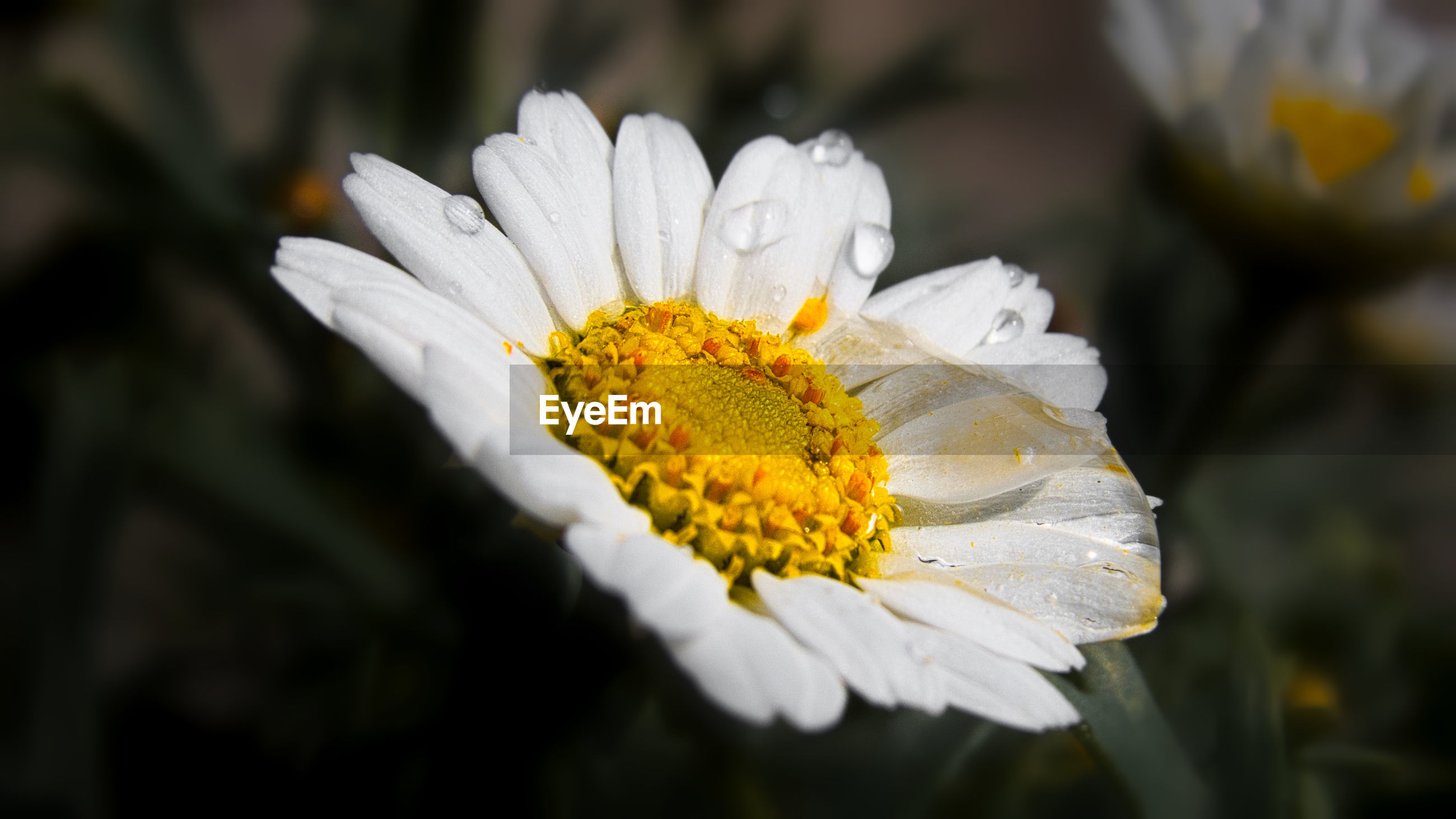 CLOSE-UP OF WHITE AND YELLOW FLOWER