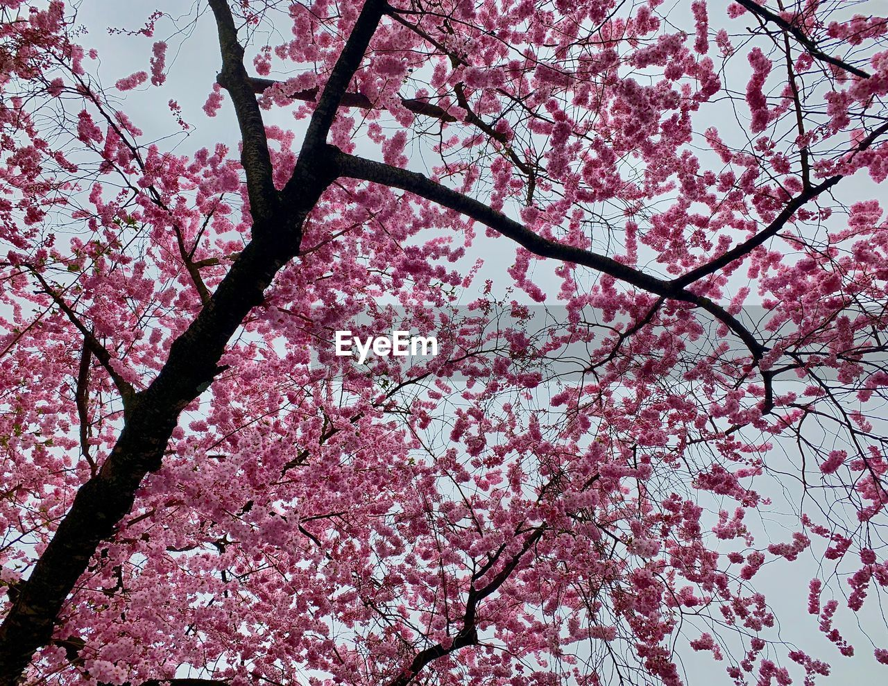 flowering plant, flower, pink color, blossom, tree, springtime, low angle view, branch, fragility, plant, freshness, beauty in nature, cherry blossom, growth, nature, cherry tree, vulnerability, no people, day, sky, outdoors, flower head, spring, plum blossom