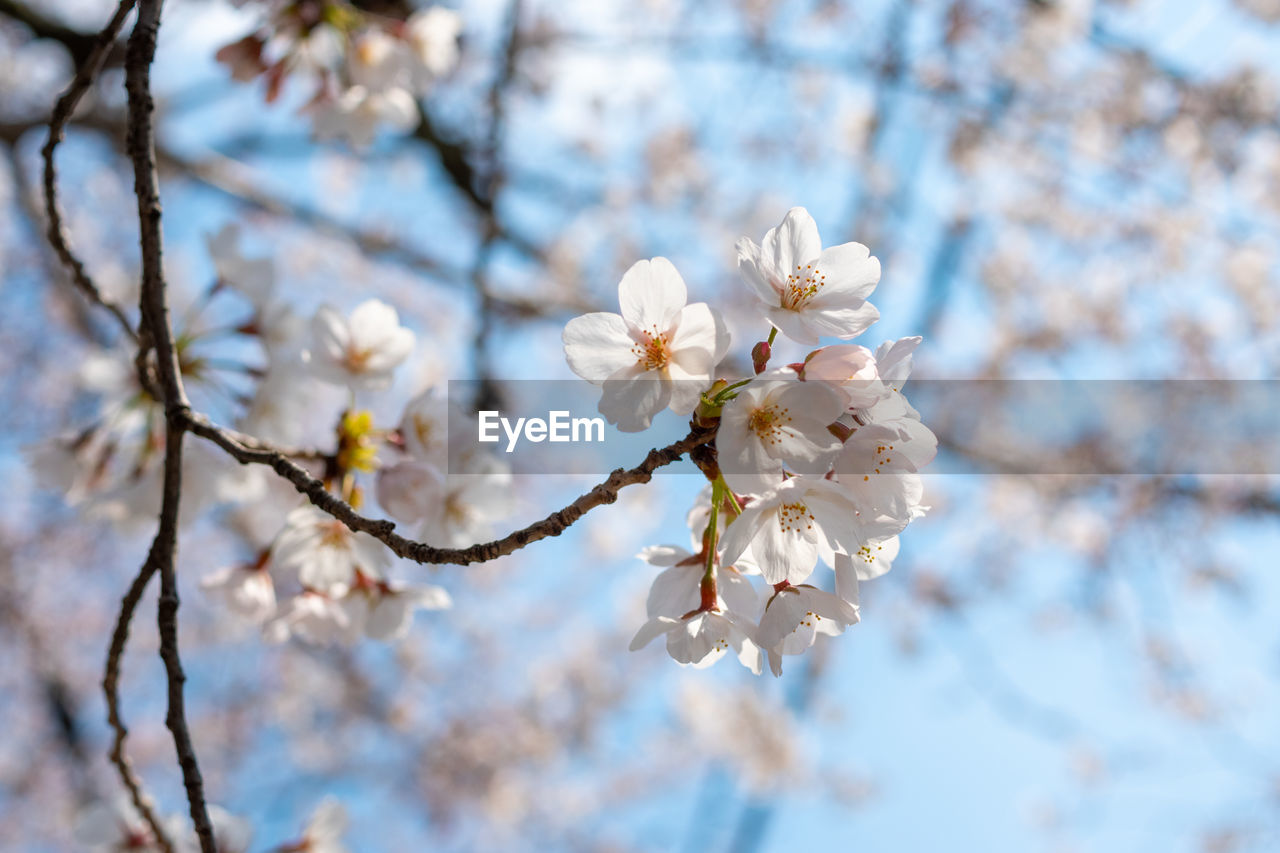 plant, flower, flowering plant, vulnerability, fragility, beauty in nature, tree, growth, freshness, white color, branch, blossom, cherry blossom, close-up, petal, inflorescence, springtime, twig, nature, focus on foreground, flower head, pollen, no people, cherry tree, outdoors, plum blossom, spring