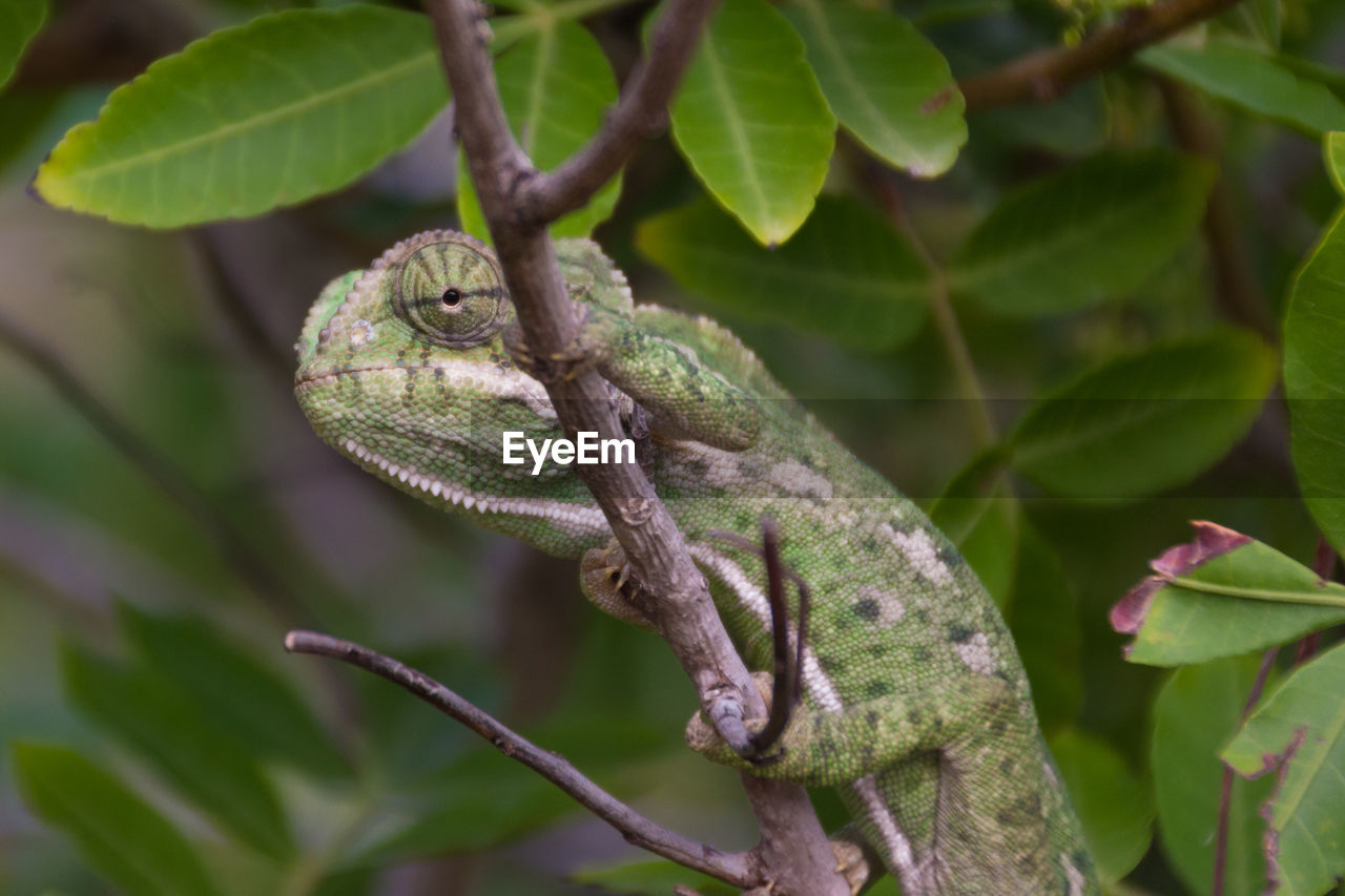 animal themes, animal wildlife, animal, plant, animals in the wild, one animal, plant part, tree, reptile, leaf, no people, vertebrate, lizard, nature, branch, green color, close-up, day, focus on foreground, chameleon, outdoors