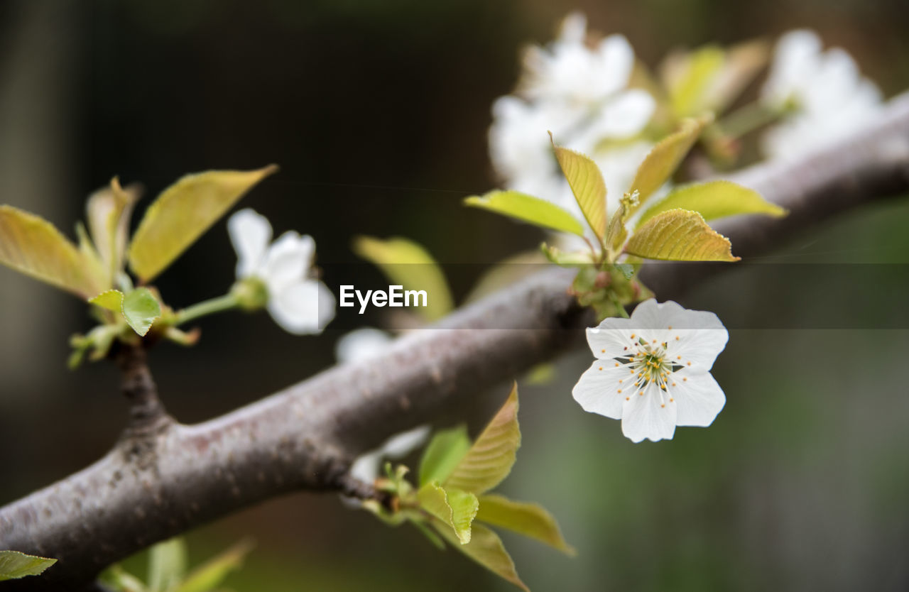 growth, flower, nature, fragility, leaf, plant, beauty in nature, petal, freshness, no people, day, outdoors, close-up, branch, blooming, tree, flower head