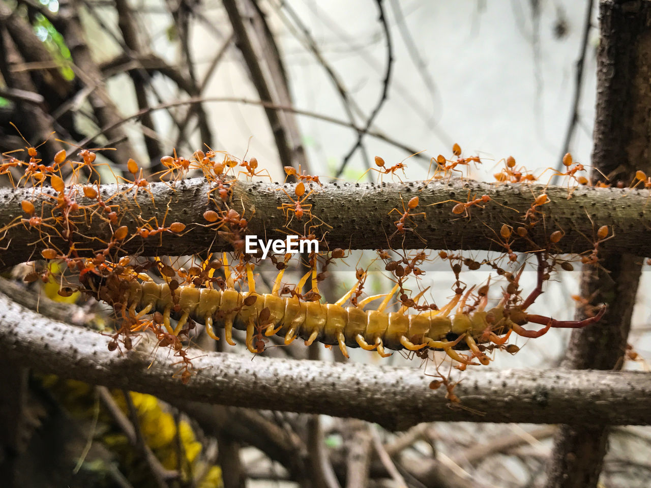 Close-Up Of Red Ants On Branch