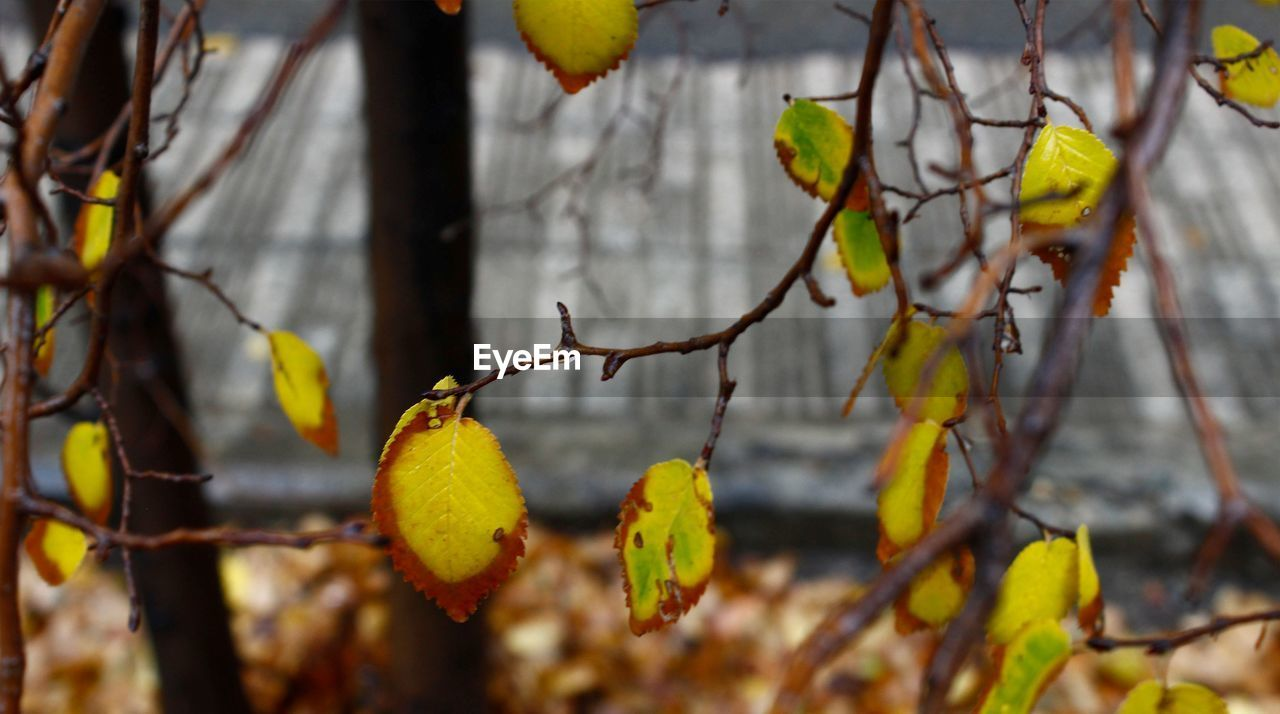 growth, tree, fruit, yellow, day, branch, nature, focus on foreground, outdoors, no people, twig, beauty in nature, leaf, close-up, hanging, freshness